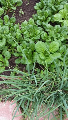 Our Asian leafy greens and wandering onions